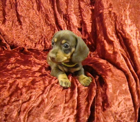 Lils Dachshund Puppies